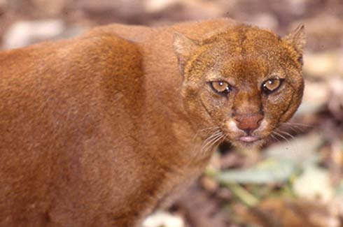red jaguarundi