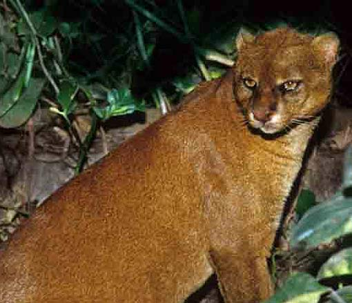 Jaguarundi Tigrillo Of The South Animal Pictures And