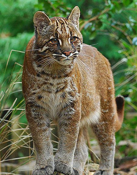 young golden cat