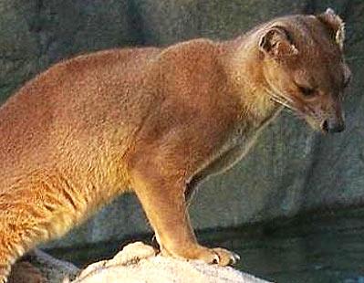 Fossa Madagascar S Top Predator Animal Pictures And