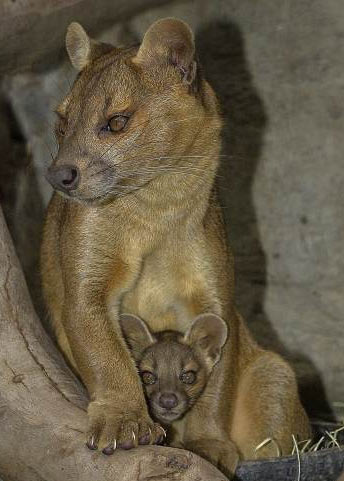 fossa mother kitten