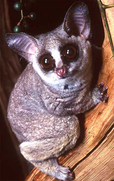big eye bush baby
