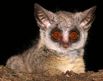 bush baby brown eye
