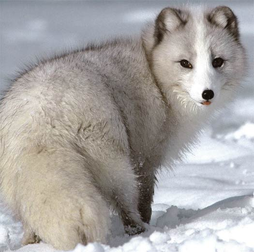 The arctic fox is a hardy