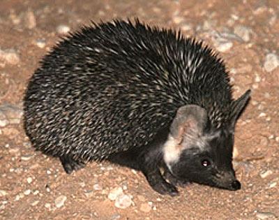 dark desert hedgehog africa