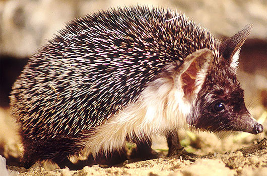 desert hedgehog africa middle east