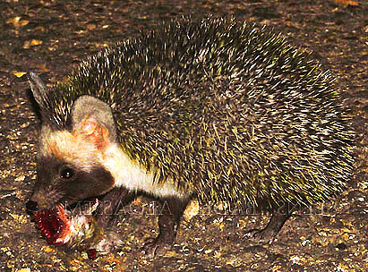 desert hedgehog carrying food