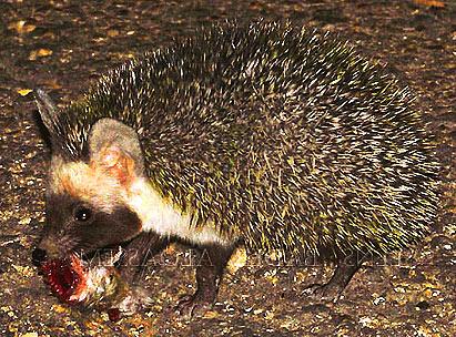 desert hedgehog carrying food
