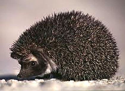 desert hedgehog spiny