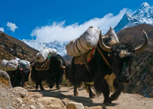 [Image: himalayan-yaks-carrying-loads.jpg]