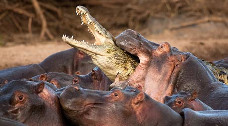 Hippopotamus - Big Mouth River Horse | Animal Pictures and ...