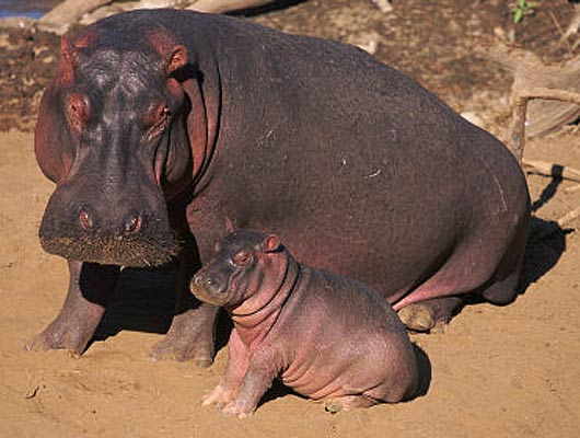 hippo-mother-young