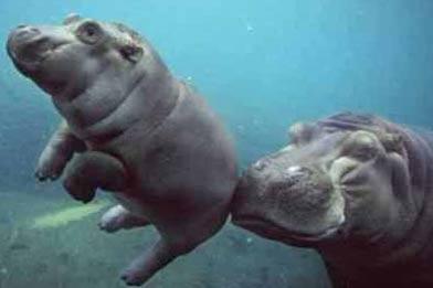 hippos-under-water