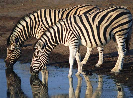 Zebras are known to live in Zebra Weight