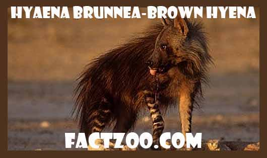 hyeana brunnea