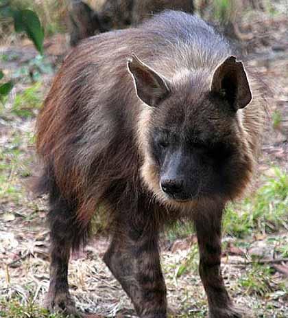 grass hyena africa