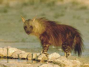 hyena africa water
