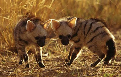 young aardwolves