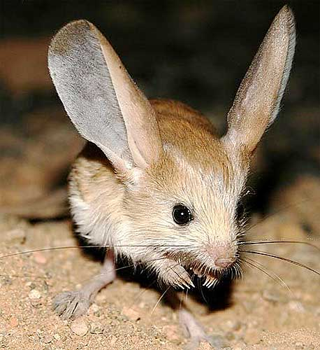 Jerboas live in desert...