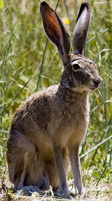 black tail jack rabbit