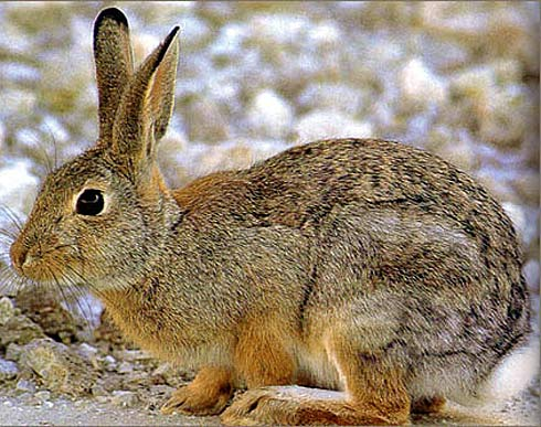 Cottontail rabbit habitat - photo#13