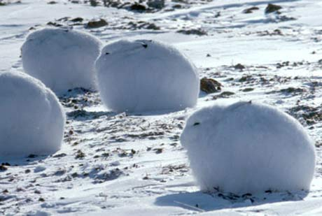 fat arctic basking tundra