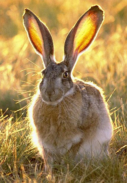 Jackrabbits and Hares - Big, Fast and Shy Leporids | Animal ...