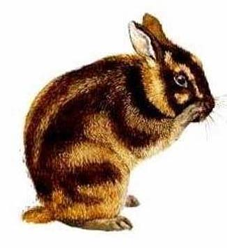 sumatran rabbit the only striped rabbit animal