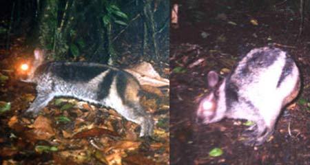 sumatran rabbit trip camera