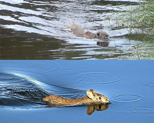 marsh rabbit short eared marsh swimmer animal pictures and facts