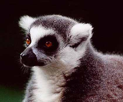 Ring-Tailed Lemur - Bright-Eyed Sun Bather | Animal Pictures and