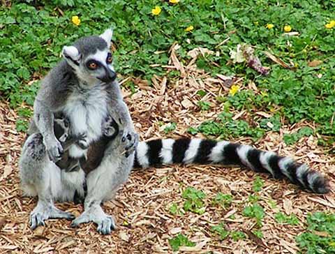 ring tailed lemur grass