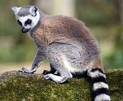 ring tailed lemur eyes