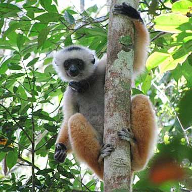 lemur in the tree