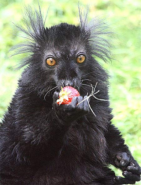 Black Lemur - The Other Blue-Eyed Primate | Animal Pictures and ...