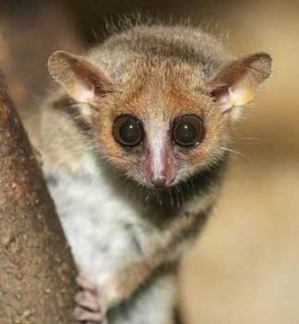 gray grey mouse lemur big eyes