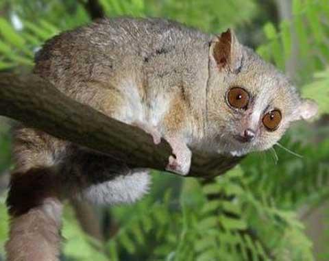 grey gray mouse lemur out on a limb