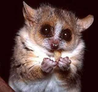 grey mouse lemur eating