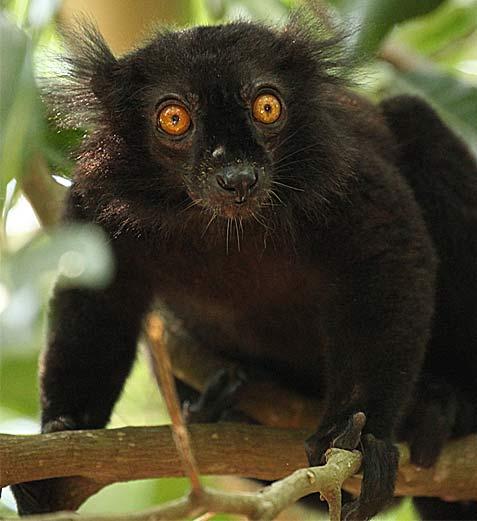 الليمور الأسود lemur-on-tree.jpg