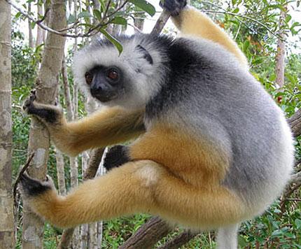 orange lemur