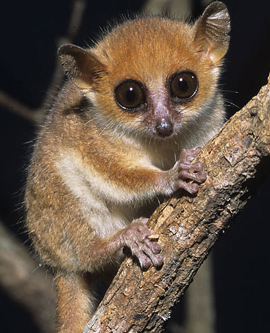 worlds smallest primate madame berthes mouse lemur