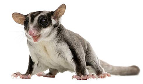 Sugar Glider Sweet Striped And Stealthy Animal