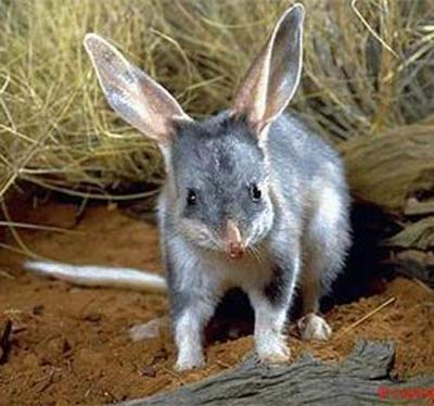 Bilby - Burrower with Long Ears and Muzzle   Animal Pictures and ...
