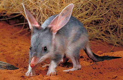 Australian mammals on brink of 'extinction calamity' (Note graphic warning to those squeamish) Bilby-gray