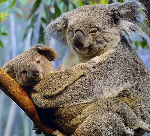 couple of koalas