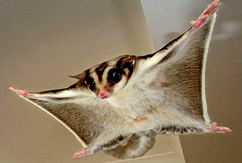flying possum outstreched