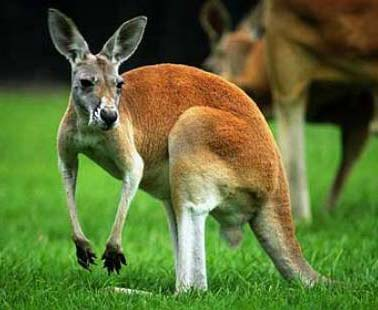 Marsupial Quokka Kangaroo Family - Big ...