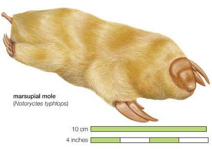 notoryctes typhlops mole