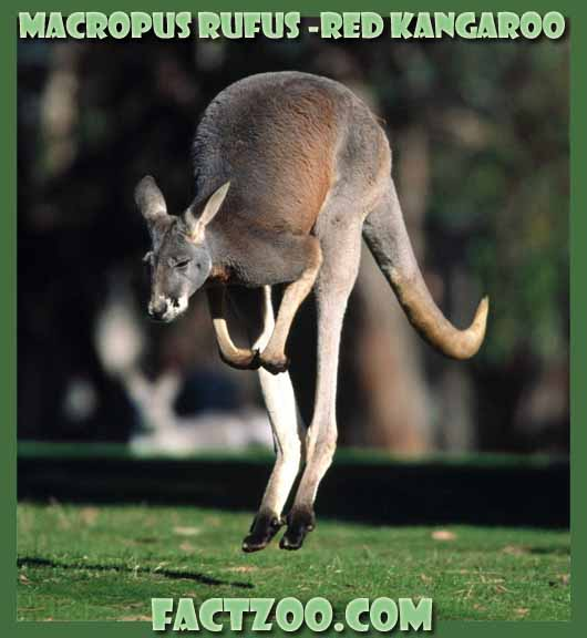 Red Kangaroo - Largest Marsupial | Animal Pictures and Facts ...