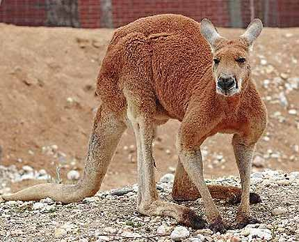 red roo of the rocks